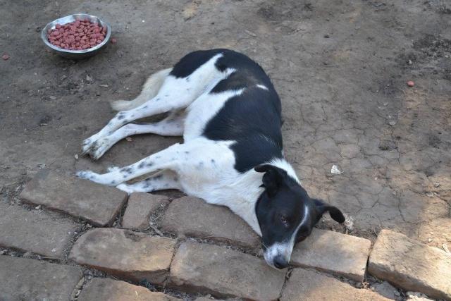 GAYA- femelle noire et blanche née en 2013- parrainée par Skara - SC-SOS-R- - Page 2 Gaya_s10
