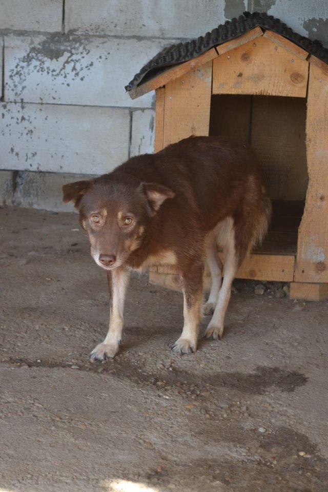 LAORA, femelle rescapée d'Oltenita du 30 avril 2015, née fin 2013, marron roux - marrainée par lilirez2 - SOS-R-SC Laora_11