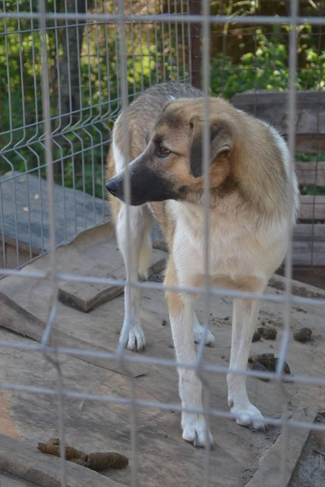 SPIROU, mâle né en 2014 sauvé d'Oltenita - parrainée par Les 3 Loulous -R-SOS-SC Spirou11