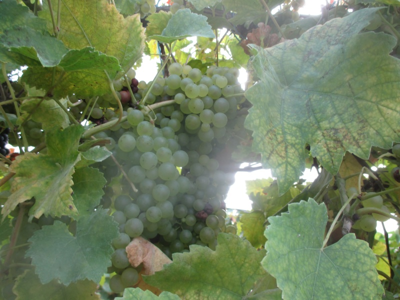 taille de vigne  Raisin10