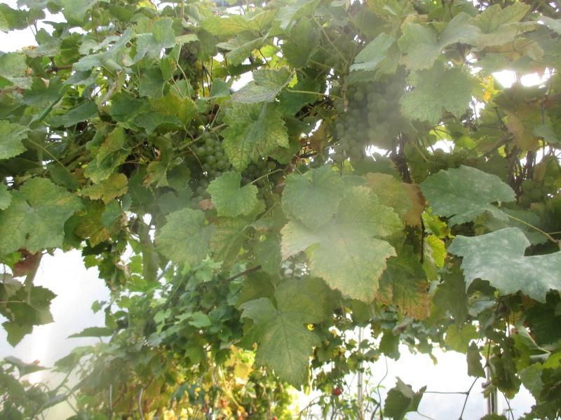 taille de vigne  Raisin12