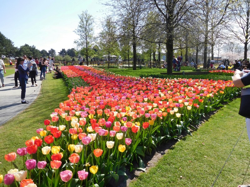 Tulipes de Hollande 20180521