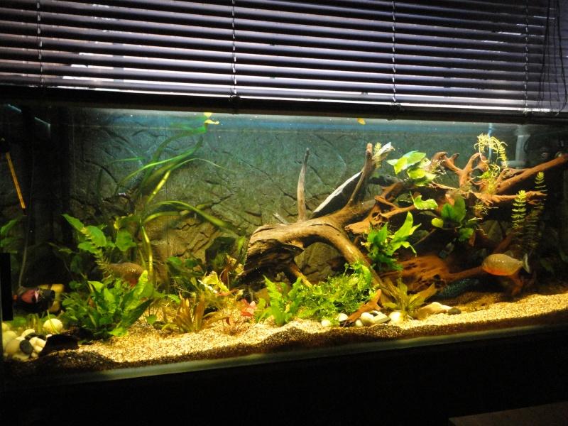 450 litres amazonien Pygocentrus nattereri  - zarco Dsc00511