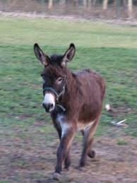 Le coin des poneys Ane_no10