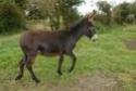Le coin des poneys Ane_no11