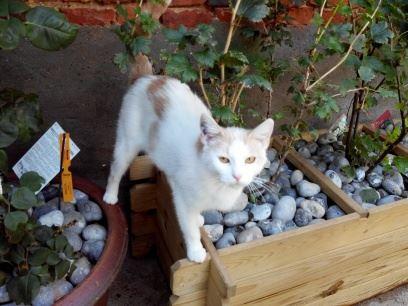 DOUCE, chatte blanche et rousse Douce10