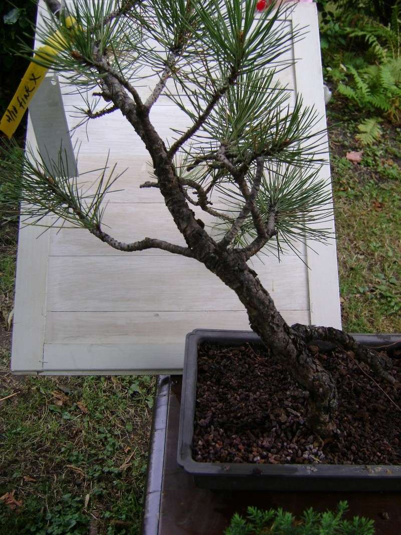 Best Deal Ever!!! (ponderosa pine) Yankee12
