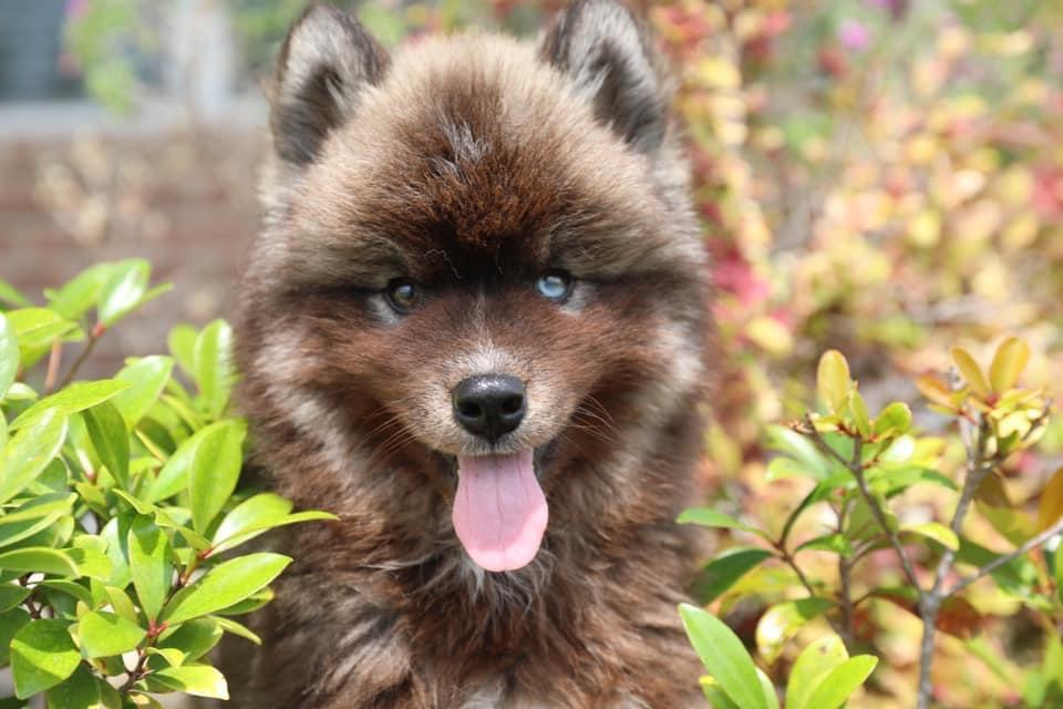 Husky Coat Color R0gclk10