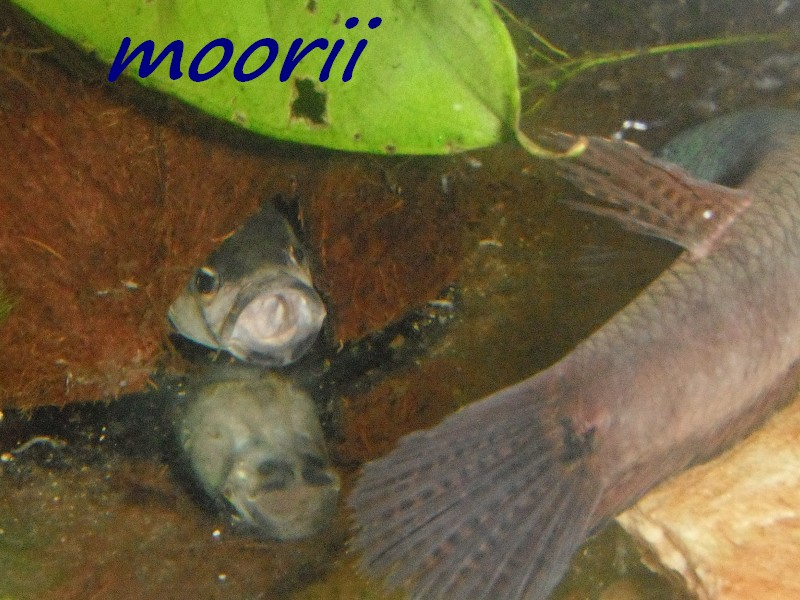 "Betta ocellata "" Tawau Kampong Imam"" (Borneo).  2210"