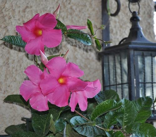 Dipladenia amabilis (= Mandevilla amabilis rose) 055_5010