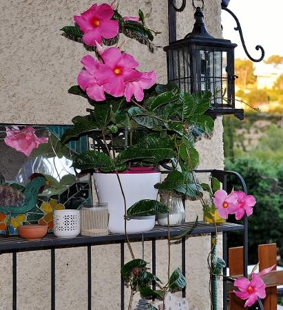 Dipladenia amabilis (= Mandevilla amabilis rose) 056_4110