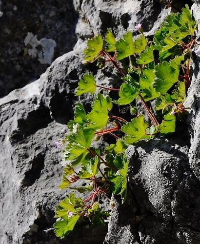 Geranium rotundifolium - géranium à feuilles rondes Avril_18