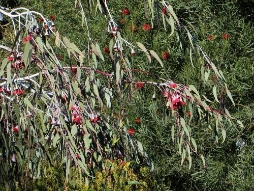Eucalyptus leucoxylon subsp. megalocarpa Fyte_d13