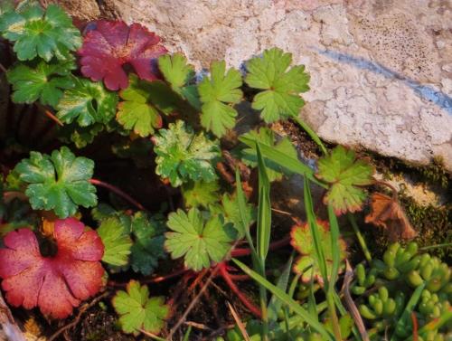 Geranium rotundifolium - géranium à feuilles rondes Mars_214
