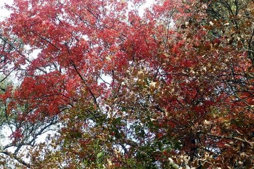 Acer monspessulanum - érable de Montpellier - Page 2 Novemb10