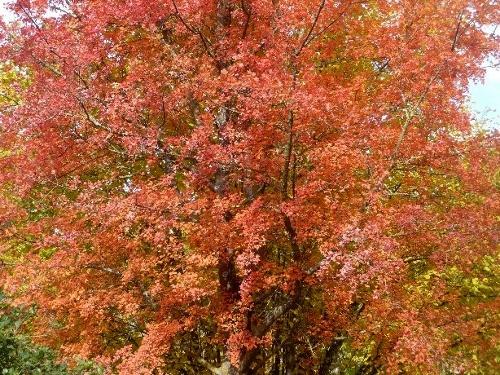 Acer monspessulanum - érable de Montpellier - Page 2 Novemb11