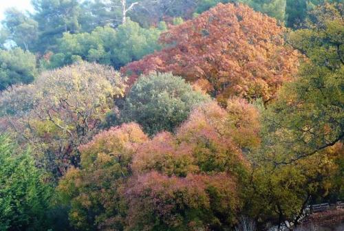 Acer monspessulanum - érable de Montpellier Octobr13