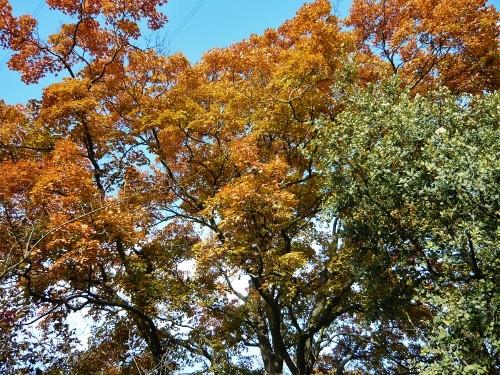 Acer monspessulanum - érable de Montpellier - Page 2 Octobr14