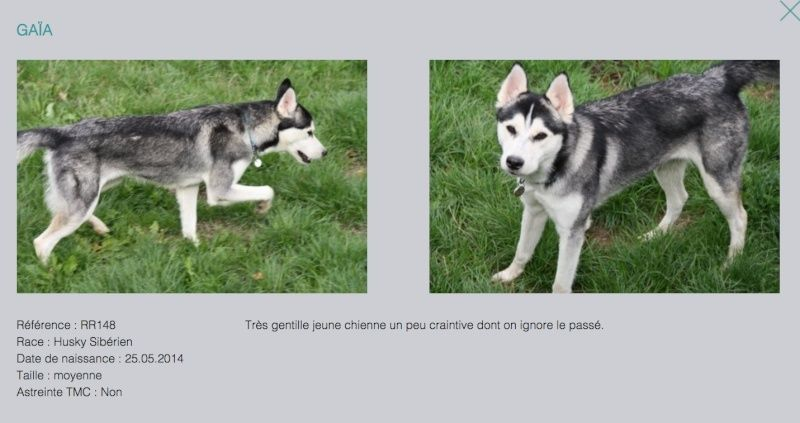 GAIA, jeune chienne Huskie née le 25.05.2014 REFU Suisse Gaya10
