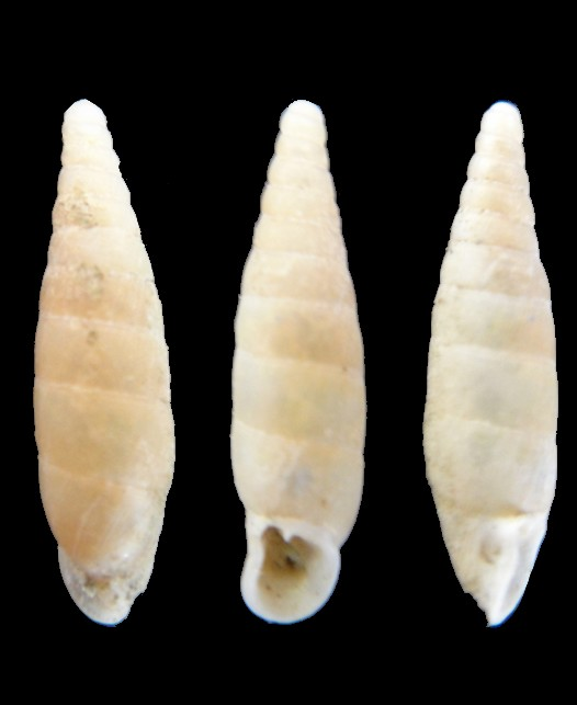 Papillifera solida (Draparnaud, 1805) Aubagn10