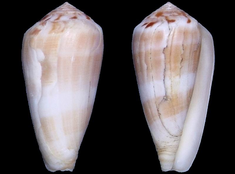 Conus fulmen kirai (Pionoconus) Kuroda, 1956 Conus_10