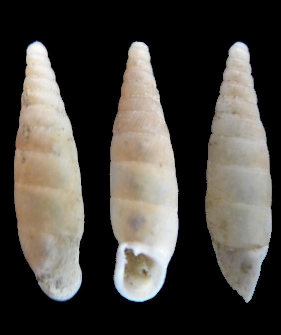 Papillifera solida (Draparnaud, 1805) Papill10