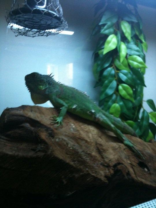 salut a vous voici  les photos de mon iguane  Untitl11