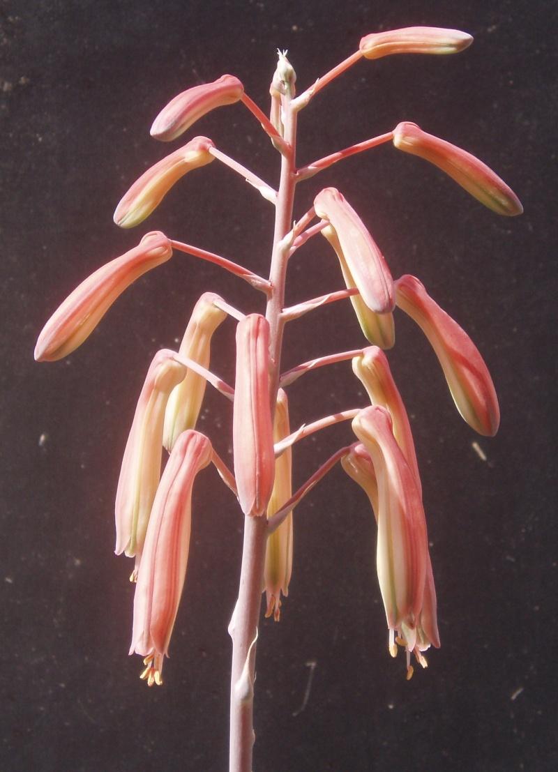 Succulentes : floraison Aloe_a10