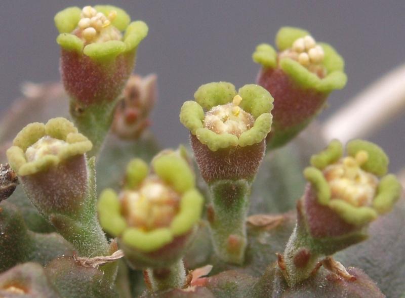 Succulentes : floraison Euphor11