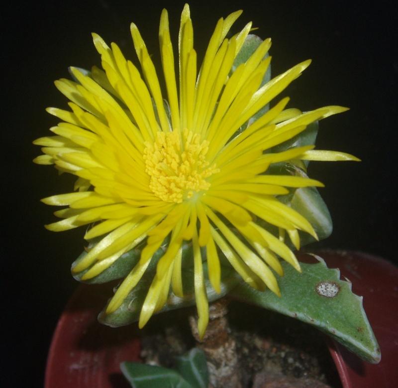 Lithops et Faucaria, floraisons Faucar10