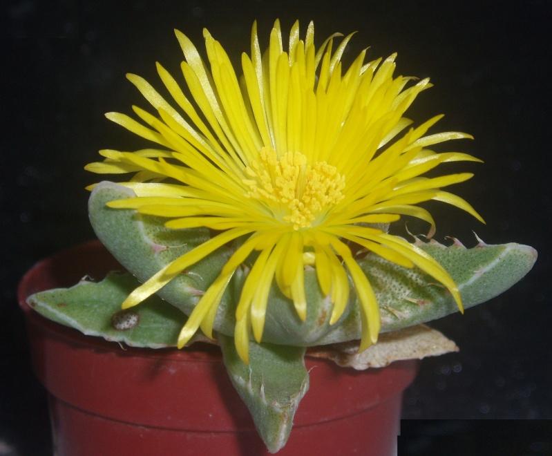 Lithops et Faucaria, floraisons Faucar11