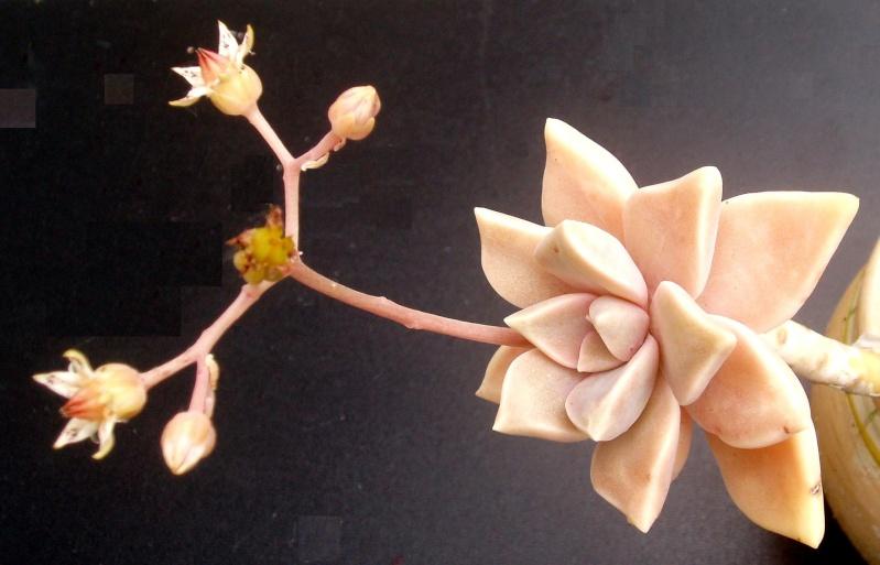 Succulentes : floraison Grapto10