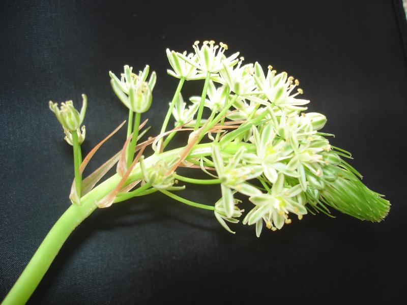 Succulentes : floraison Ornith10
