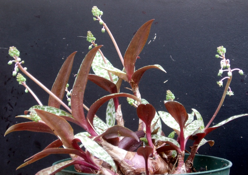 Succulentes : floraison Scilla10