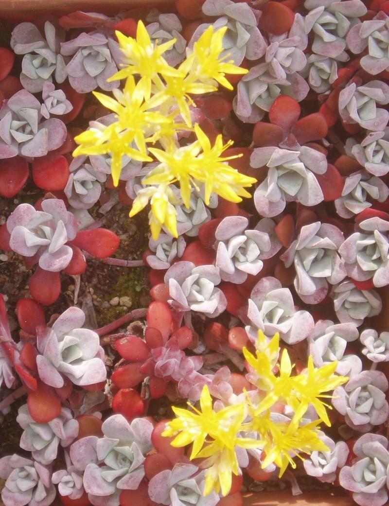 Succulentes : floraison Sedum10
