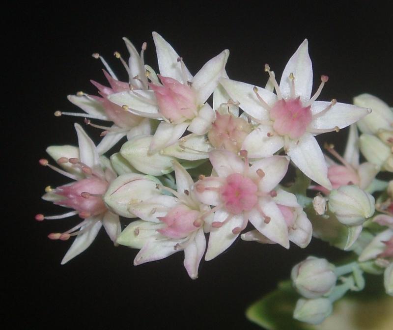 Succulentes : floraison Sedum_12