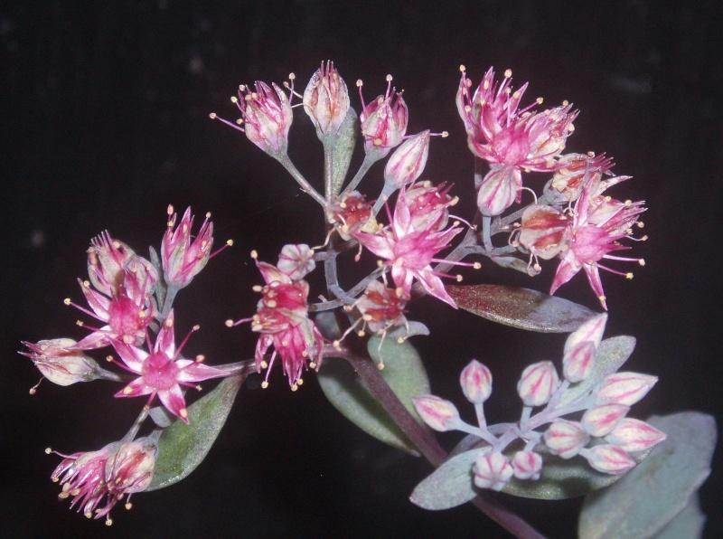 Succulentes : floraison Sedum_15