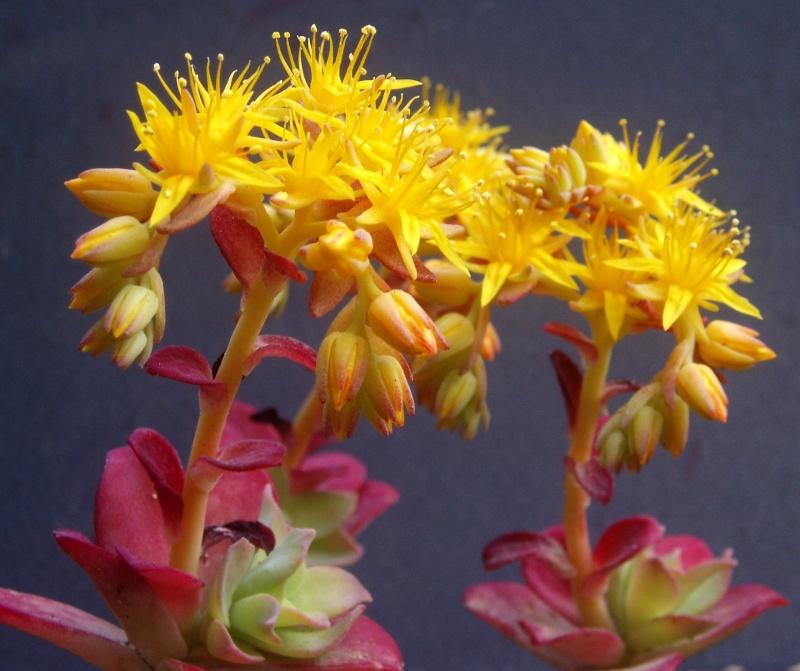 Succulentes : floraison Sedum_16