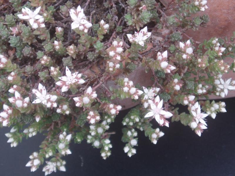 Succulentes : floraison Sedum_20