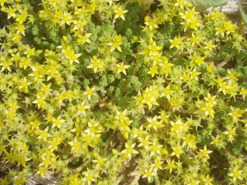 Succulentes : floraison Sedum_22