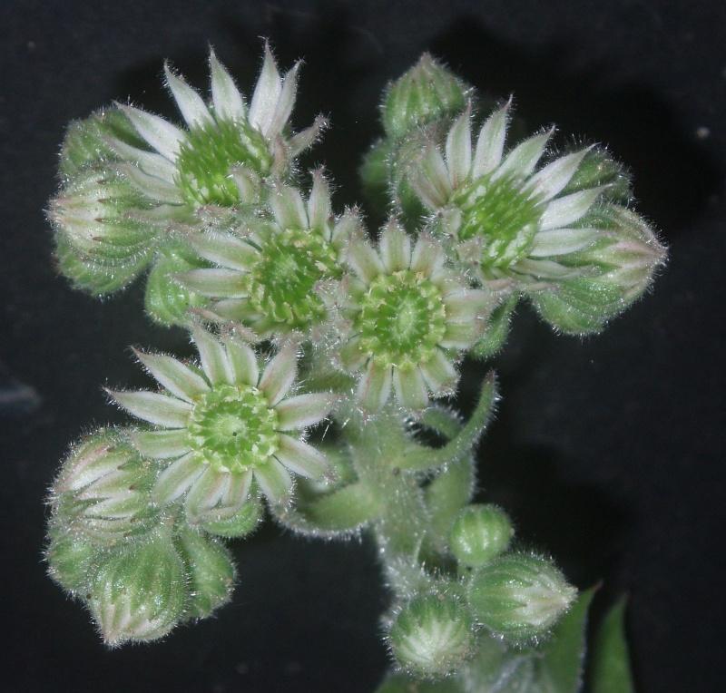 Succulentes : floraison Semper12