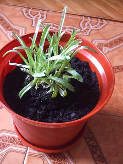 la culture de l'édelweiss /Leontopodium Alpinum 13800110