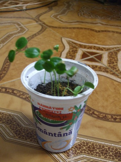 passiflora  14005710