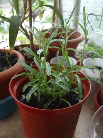 la culture de l'édelweiss /Leontopodium Alpinum 14449710