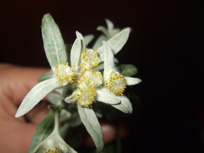 la culture de l'édelweiss /Leontopodium Alpinum 15933410