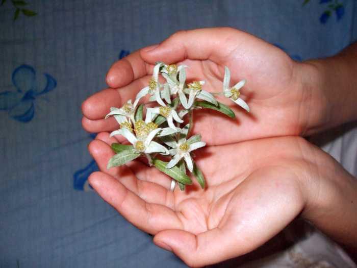 la culture de l'édelweiss /Leontopodium Alpinum 16240215