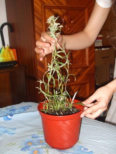 la culture de l'édelweiss /Leontopodium Alpinum 16240410