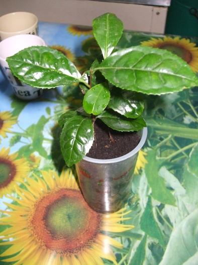 Le théier  (Camellia sinensis) 16671410