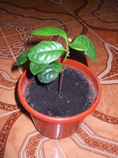 Le théier  (Camellia sinensis) 21718910