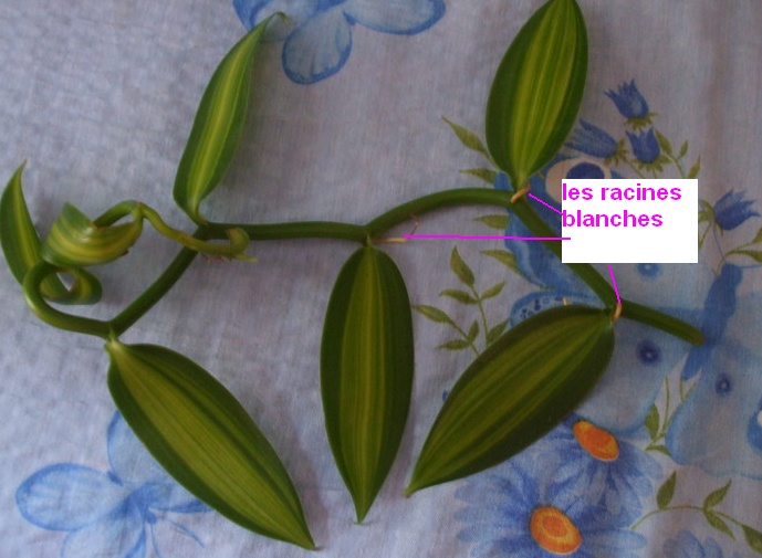 Culture et Entretien de la Vanilla Planifolia A_bmp10